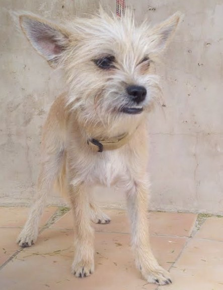 Corgi Cairn Mix | Dog Breeds Picture
