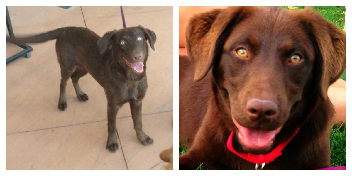 Chocolate Lab Dachshund Mix Puppy Woofs, wiggles, n wags
